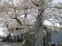 【お花見】に行ってきました。