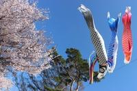 桜をバックに泳ぐこいのぼり